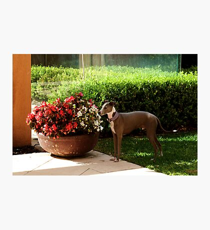 Darcy and Begonias Photographic Print