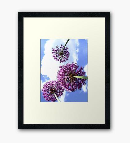 Alliums Framed Print