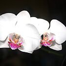 WHITE ORQUID by William Vazquez