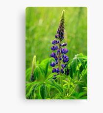 Lone Lupin Canvas Print