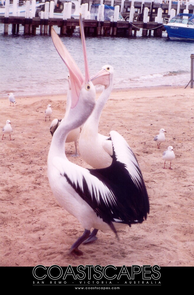 Pelican Feeding Time Photograph by Margaret Woodlock-McLean