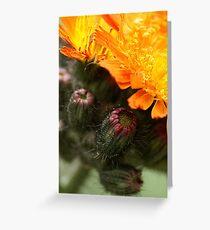 Orange Hawkweed Greeting Card