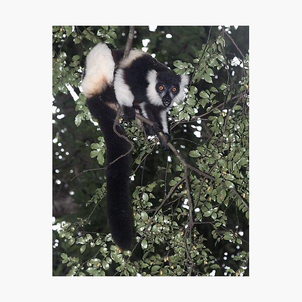 Treeing the lemur Photographic Print