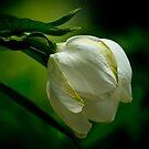 gardenia bud by Phillip M. Burrow
