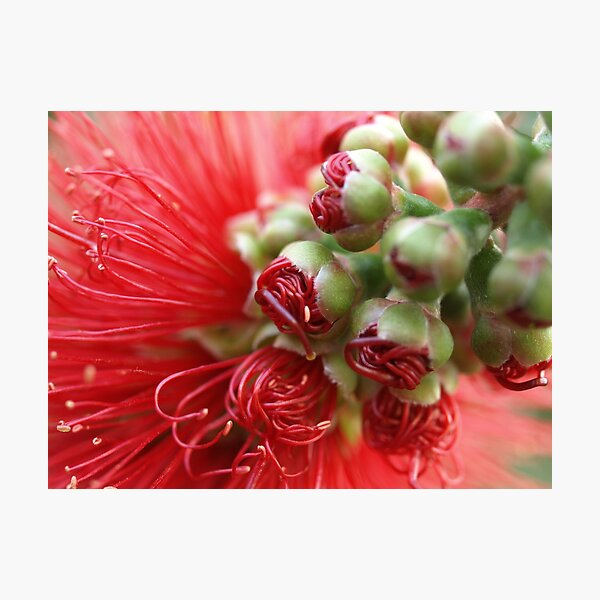 tight red about to unfurl Photographic Print