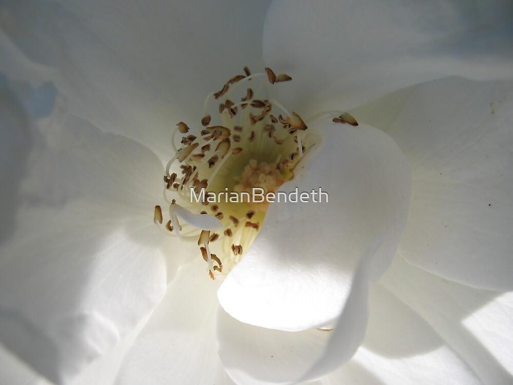 Vestal White Rose by MarianBendeth