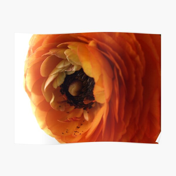 Orange ranunculus flower 1 Poster