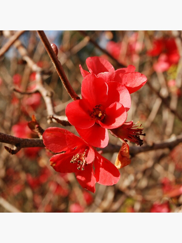 Flowering Quince by gagster