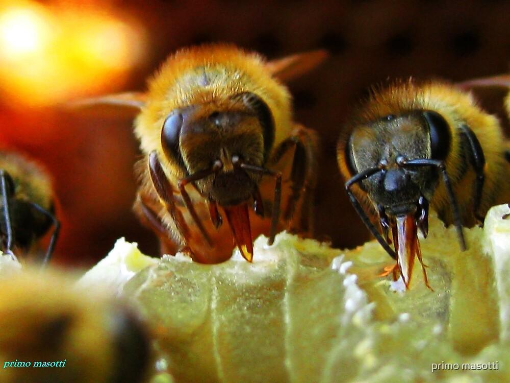 Api, che immettono il miele nelle cellette - missano  ( zocca modena italy).....054 by primo masotti