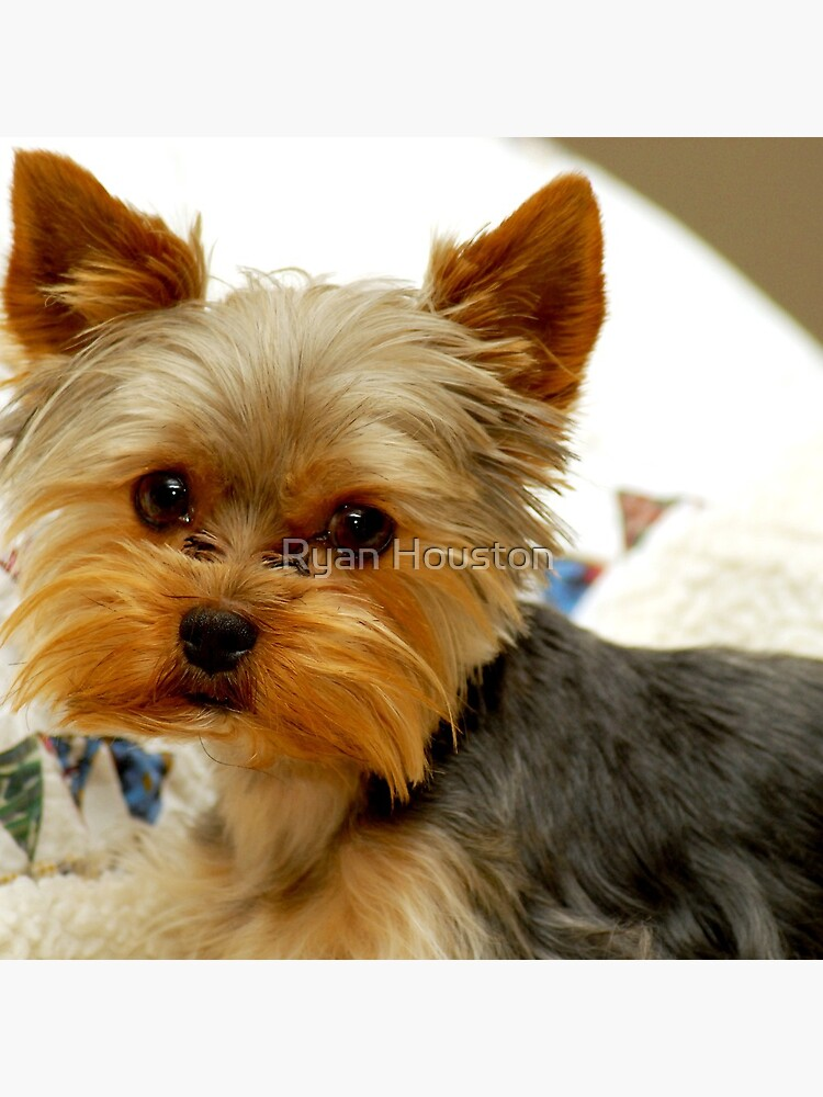 Yorkshire Terrier & Quilt by photoforyou