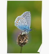 Small Butterfly On Flower Poster