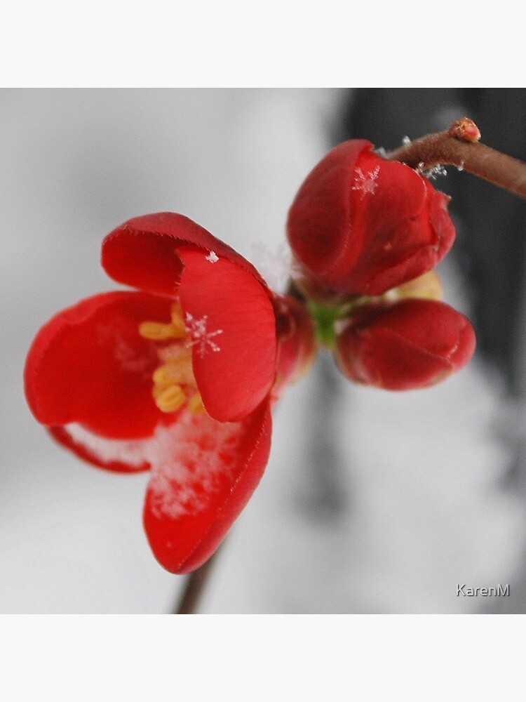 Snow Quince by KarenM