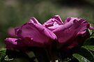 Victorian Rose by Elaine  Manley