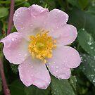 Raindrops on Rose Petals by Ann Garrett