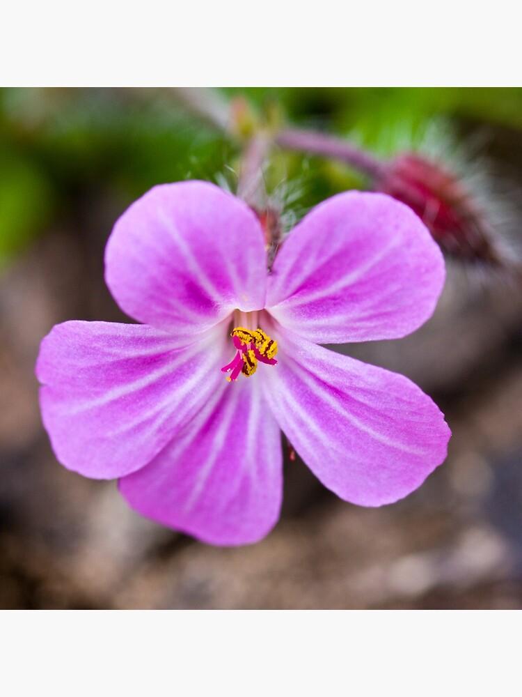 Herb Robert (Geranium robertianum) by SteveChilton