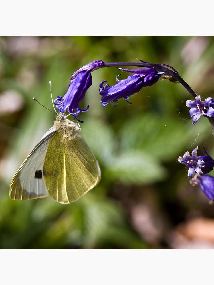 Large White Butterfly (Pieris brassicae) on Bluebell by SteveChilton