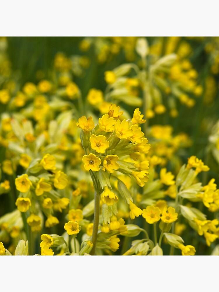 Cowslips (Primula veris) by SteveChilton