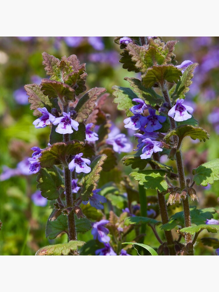 Ground Ivy (Glechoma hederacea) by SteveChilton