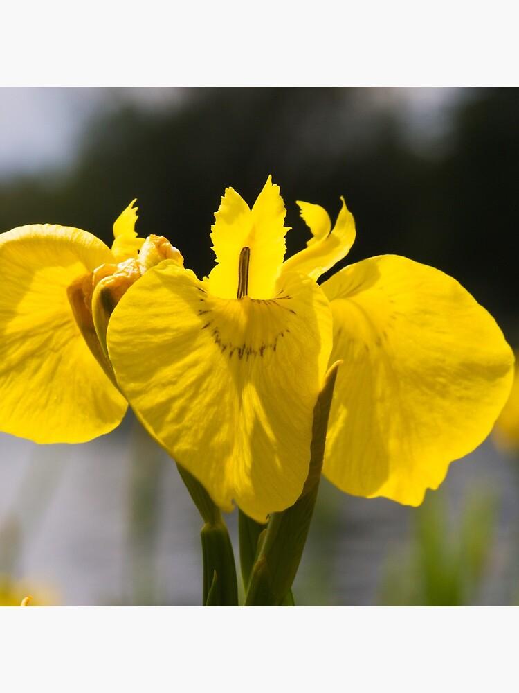 Yellow Iris (Iris pseudacorus) by SteveChilton
