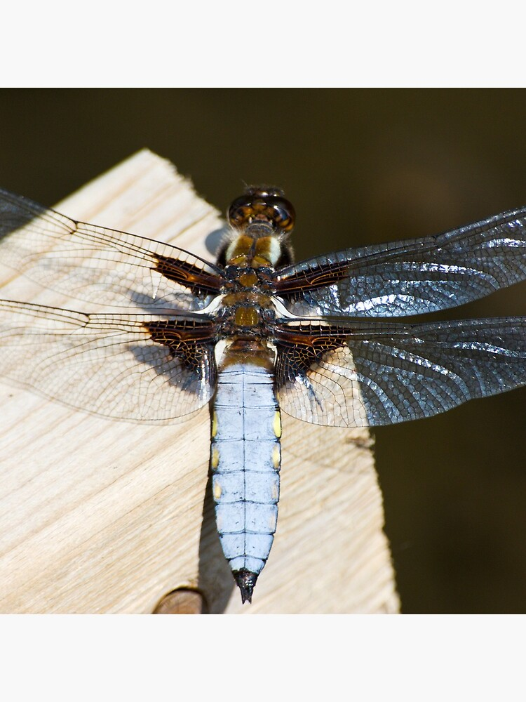 Broad-bodied Chaser (Libellula depressa) by SteveChilton