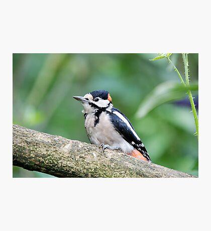 lesser woodpecker Photographic Print
