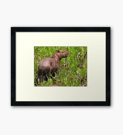 Wet capybara Framed Print