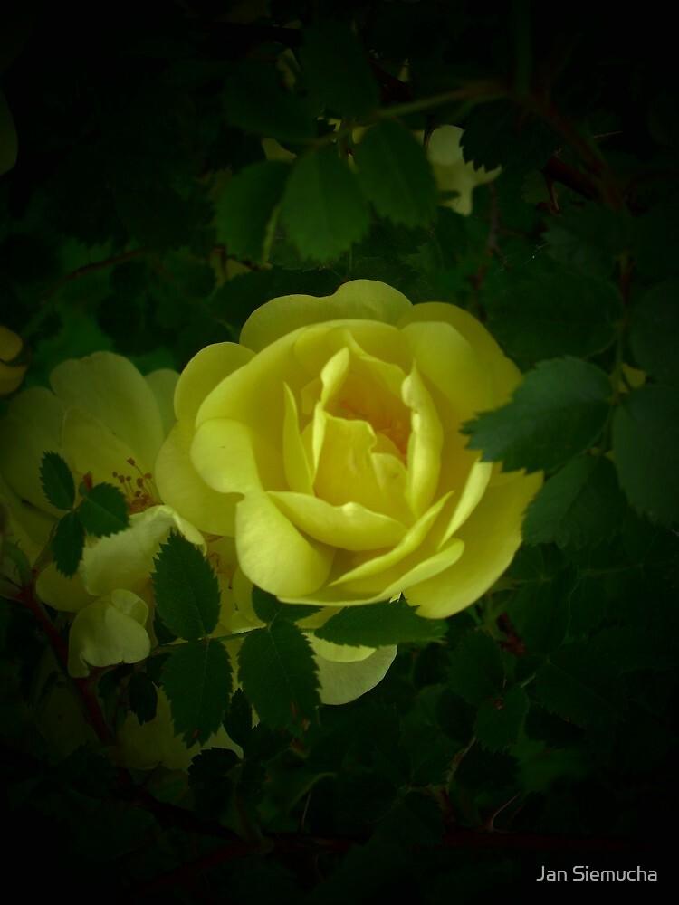 Twilight Rose by Jan Siemucha