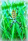 European Wasp Spider by ©The Creative  Minds