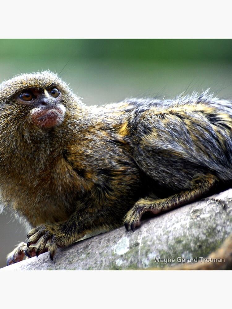 Pygmy Marmoset by redmoondragon