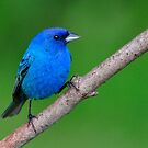 Indigo Bunting by Nancy Barrett