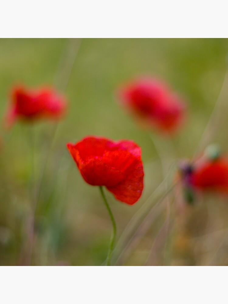 Poppies by SteveChilton