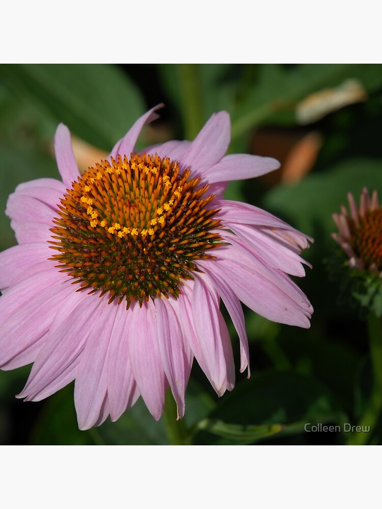 Purple Coneflower by colgdrew