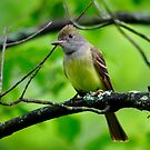 Great Crested Flycatcher by Nancy Barrett