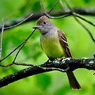Great Crested Flycatcher by Nancy Barrett