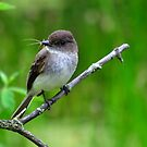 Eastern Phoebe by Nancy Barrett