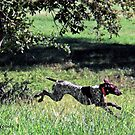 Pointer's first hunt 1 by Linda Woods