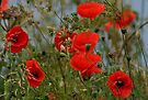 Common Red Poppies by AnnDixon