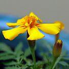 Yellow marigold by Sangeeta
