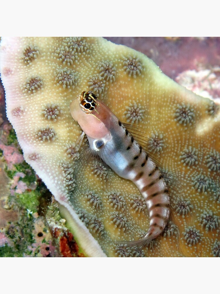 Tiger Blenny by neoniphon
