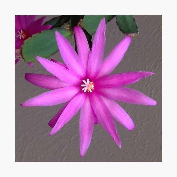 Easter Cactus Bloom Photographic Print