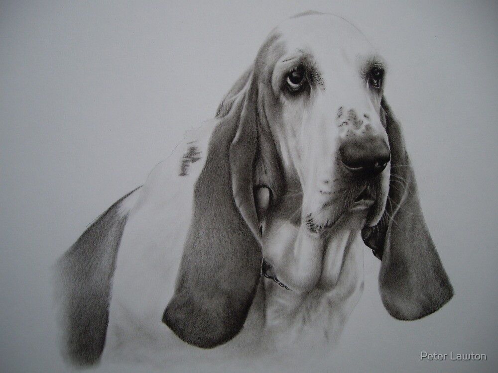 Basset Hound by Peter Lawton