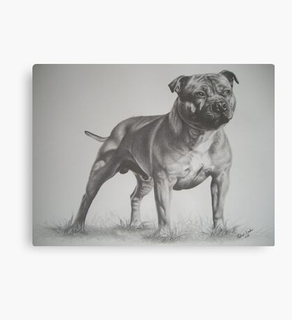 Staffordshire Bull Terrier in Pencil Canvas Print