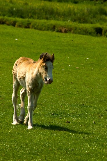 Foal   by Trevor Kersley