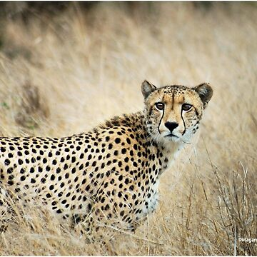 A MOMENT IN TIME - THE CHEETAH - Acinonyx jubatus by mags