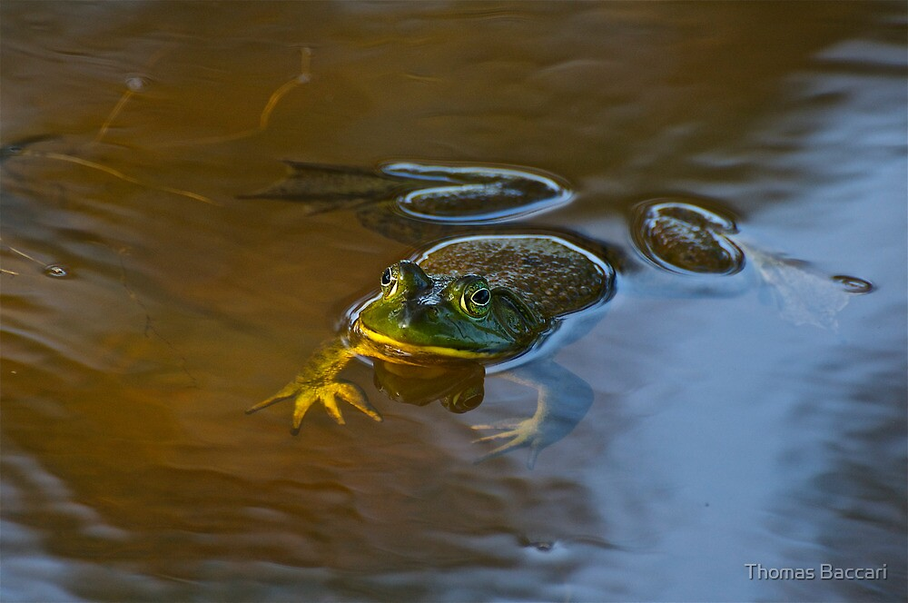 Frog Relaxing by TJ Baccari Photography
