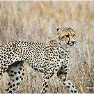 A MOMENT IN TIME - THE CHEETAH von Magriet Meintjes