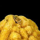 Babby Puffer on coral head by Paul Lenharr II