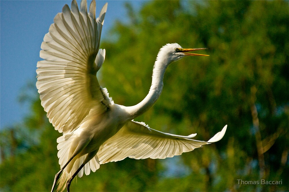Egret coming in for a landing in the trees by TJ Baccari Photography