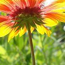 Crimson Sunburst by Kelly Chiara