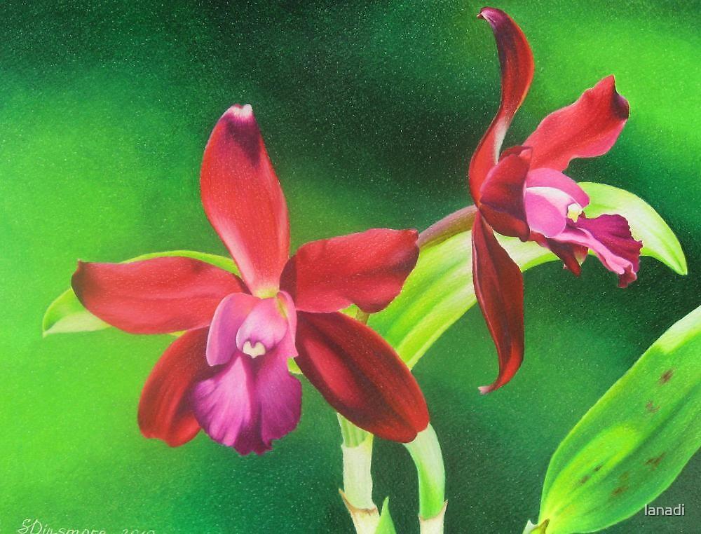 Red cattleya orchid by lanadi